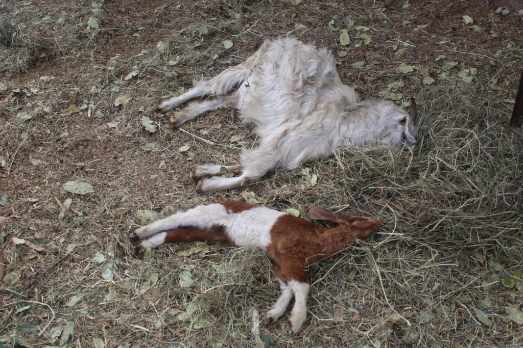 एैयार र पोडे नामको घाँस खादा १३ वटा  बोयर जातका बाख्रा मरे पछि  किसान चिन्तित
