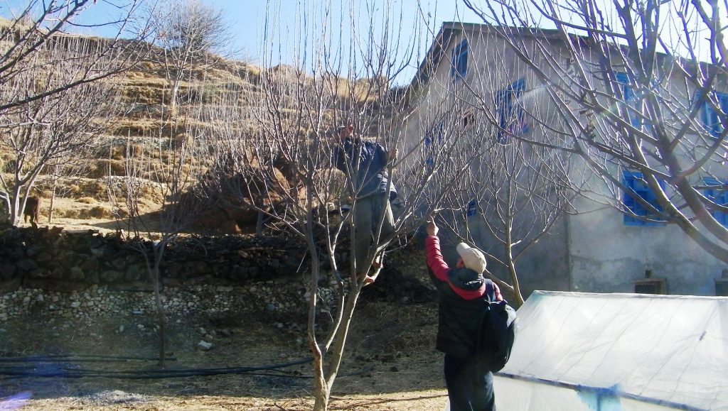 जुम्लामाका स्याउ किसान स्याउको बगैचा काँटछाट गर्न ब्यस्त