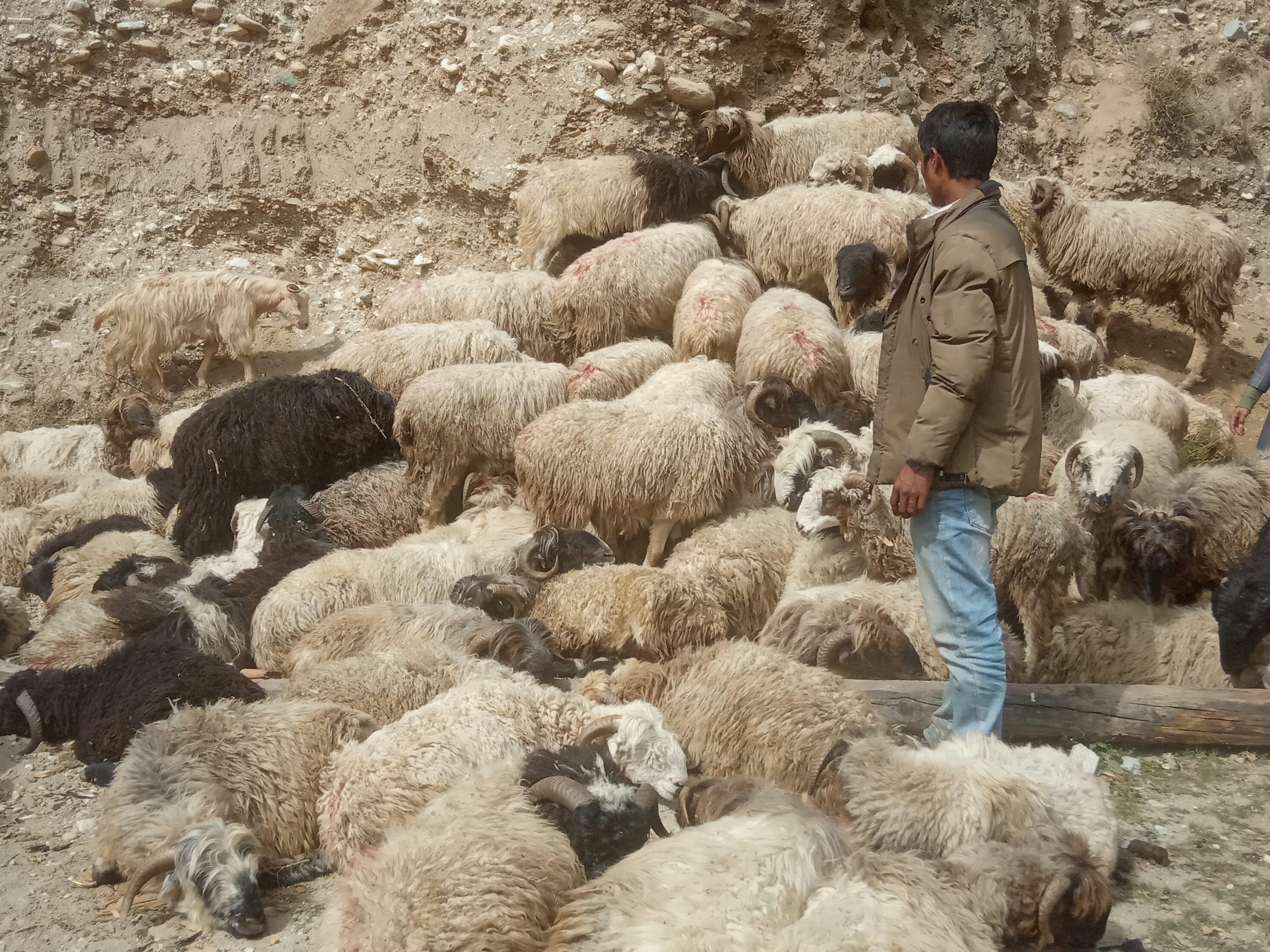यसवर्ष दसैँका लागी जुम्लामा भित्रिएका एउटै भेडाको मूल्य ४५ हजार सम्म