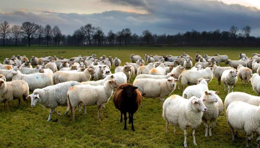१२ हजार भेडा–च्याङ्ग्रा निकासी